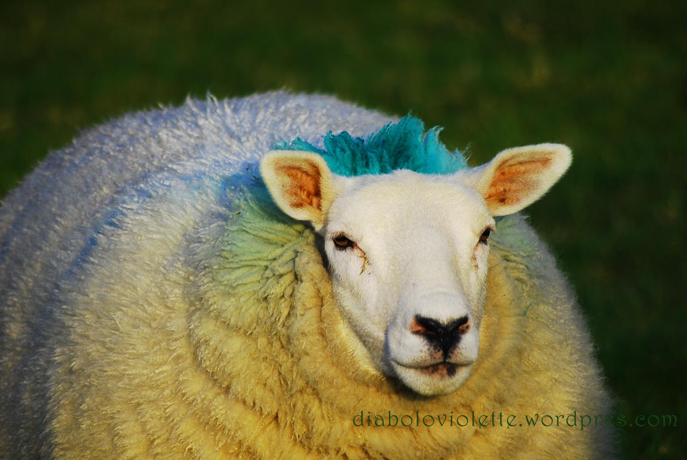 Fotogünlük #37 – Lambs of Ireland – İrlanda'nın Kuzuları